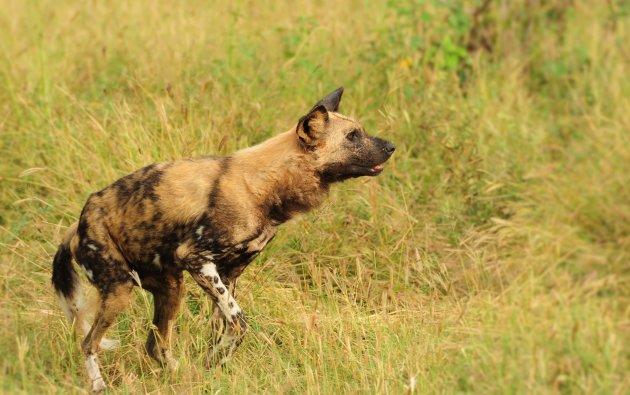 Afrkaanse wilde hond