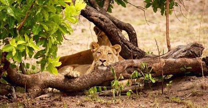 Leeuwen hinderlaag....