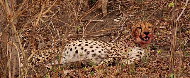 Uitbuik Cheetah