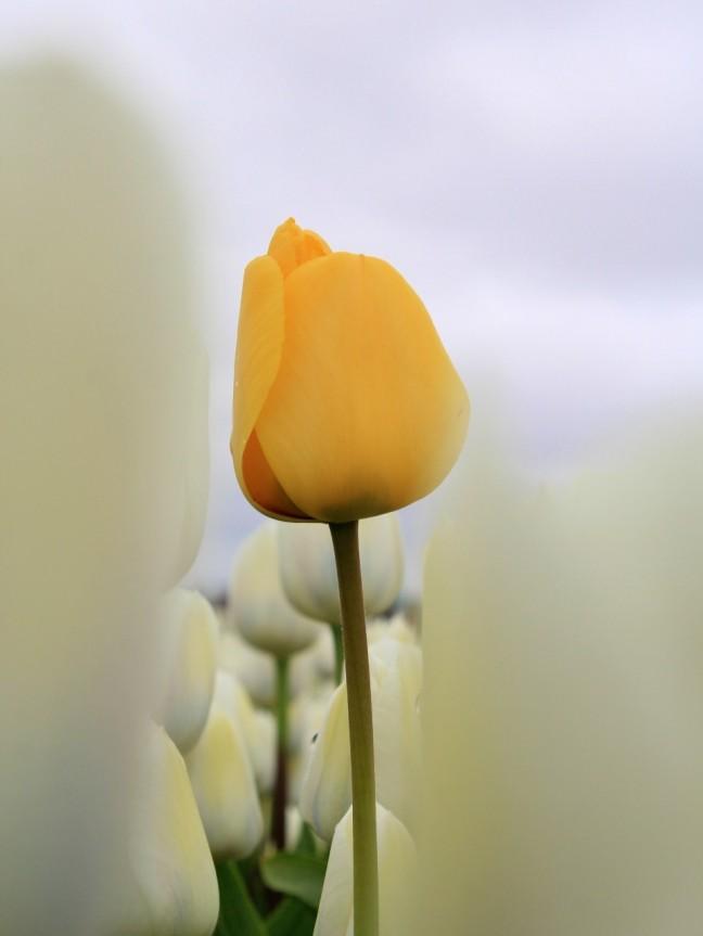 Lonely Tulp