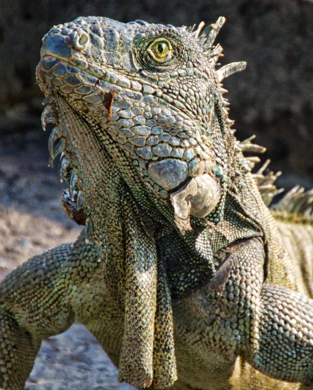 iguana in iguanapark