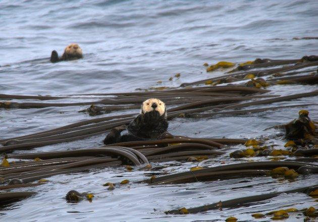 Zeeotter in kelp