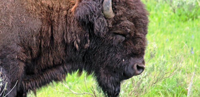 Slapende buffel?