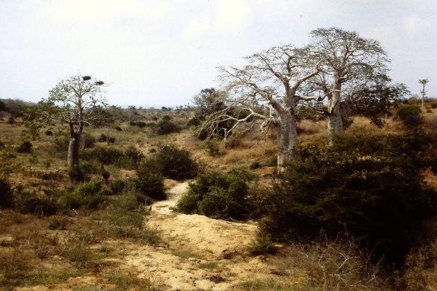 De baobabs van Angola
