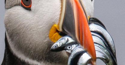 papegaaiduiker met vis