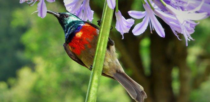 Sunbird en Argapanthus