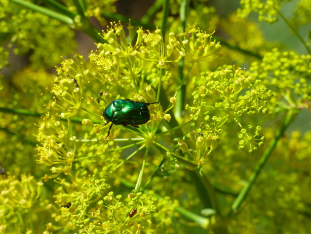 Blinkend groene kever