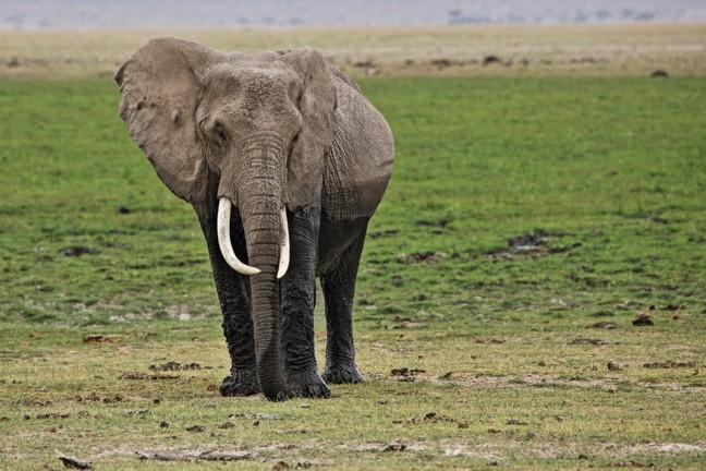 Oude olifant