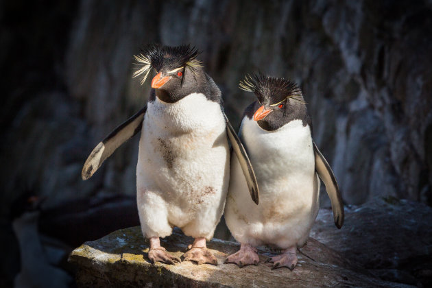 Rotspinguins