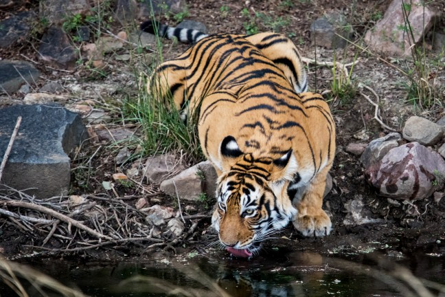 tijger in Ranthambore