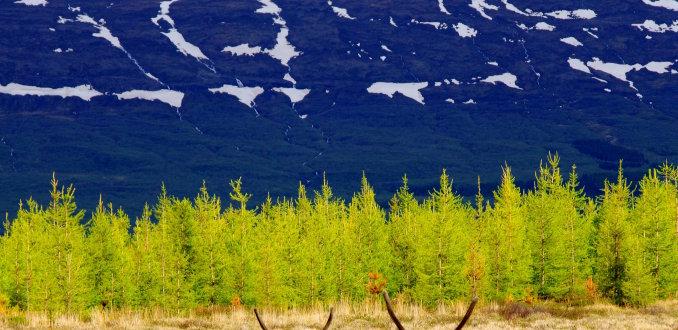 Rendieren in de Oostfjorden