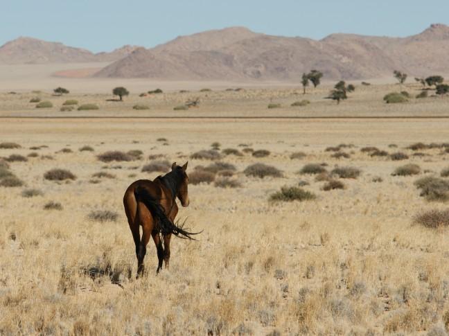 Wilde paarden bij Aus