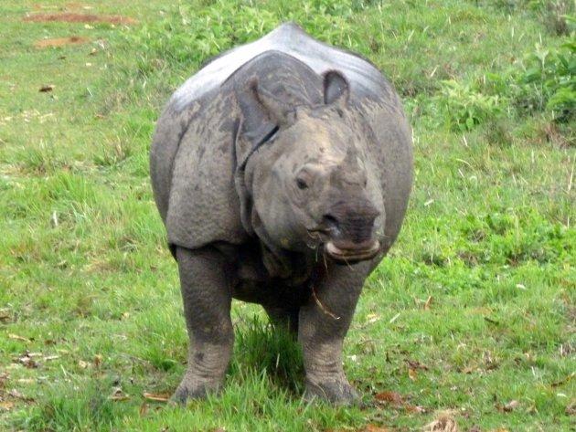 Chitwanese neushoorn