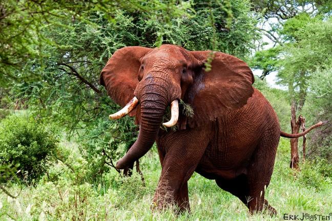 Rode olifant