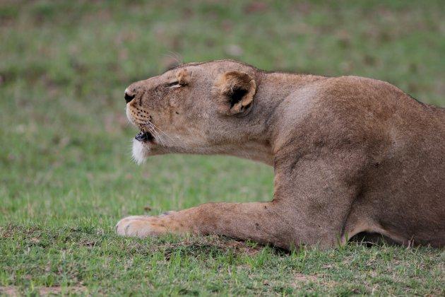 Brullende leeuwin
