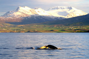 Whale watching bij middernachtzon