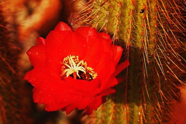Cactus bloem