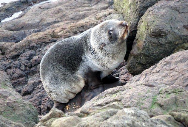 De Nieuw Zeelandse Pels Zeehond kan heel lief kijken!