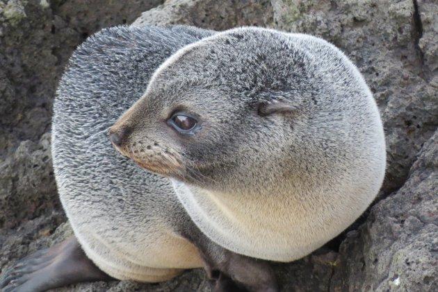 Nieuw Zeelandse pels zeehond rust even op een rotsklif a/d Pacific Ocean