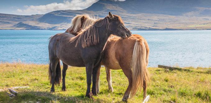Vertederende IJslanders