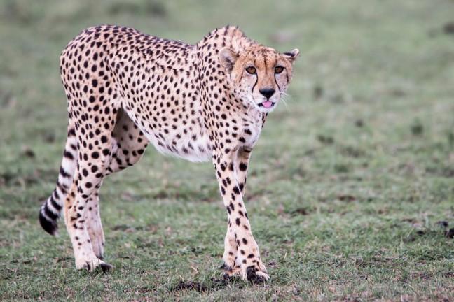 cheetah op leeftijd