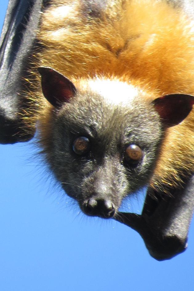 Flying Foxes overdag  te zien in een groot park in Redcliff
