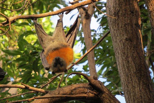 Flying Foxes zijn prachtige dieren