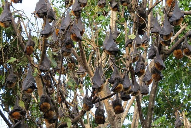 Flying foxes hoog in de bomen als kleine zwarte leren zakjes