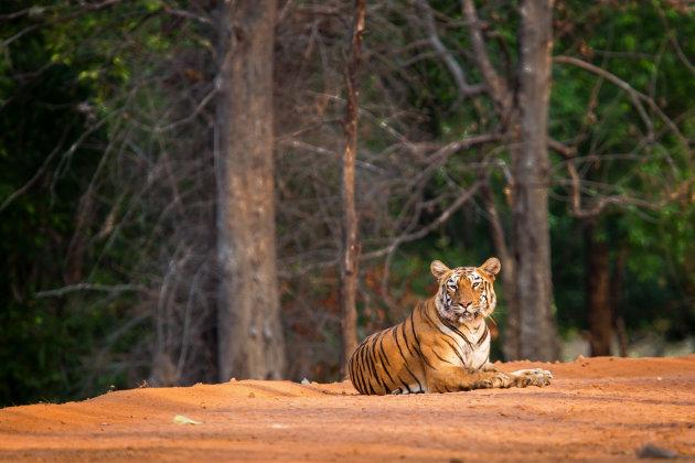 tijger op ons pad