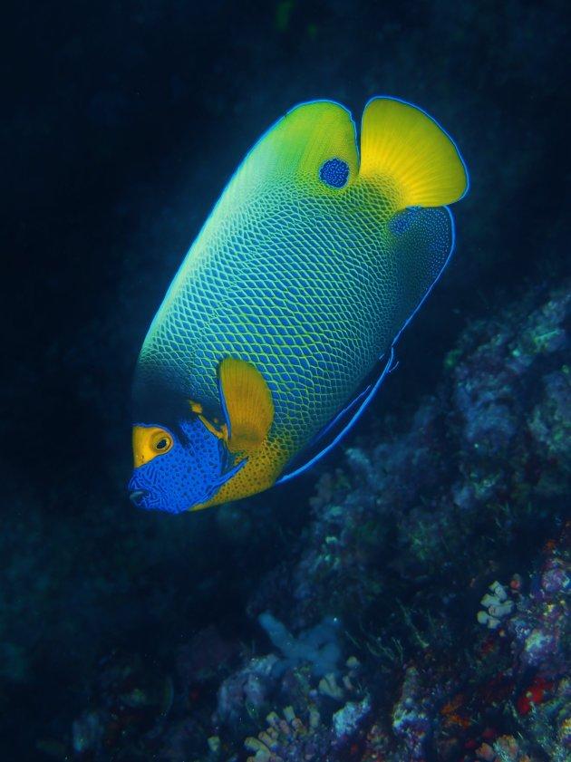Yellow face angelfish