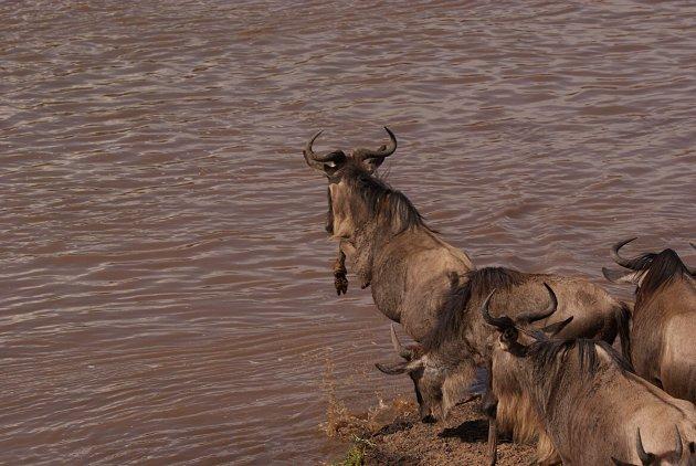 Wildebeest waagt de sprong