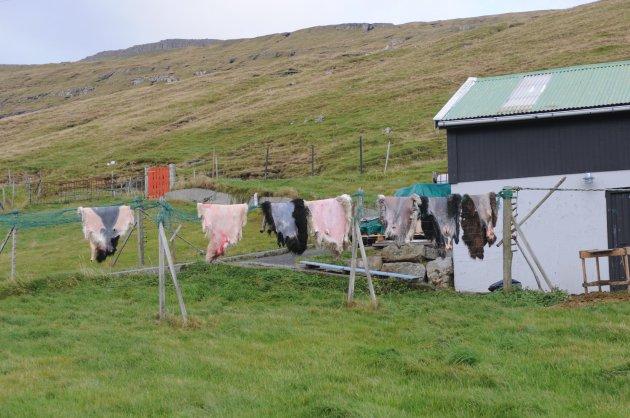 Drogen van schapenhuiden op de Faroer