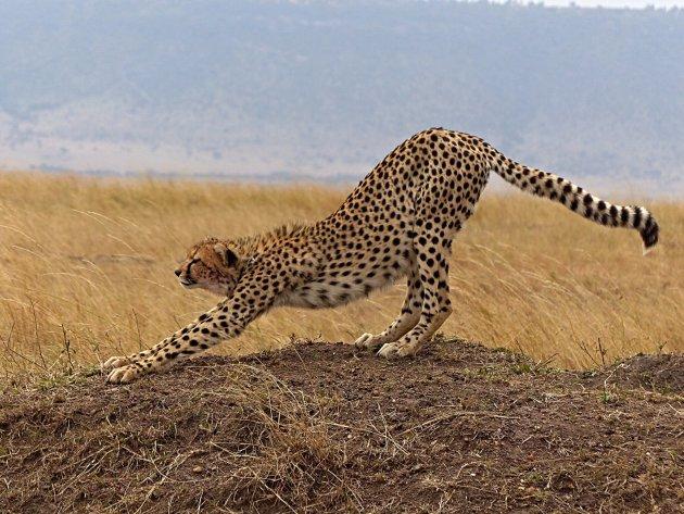 Cheetah streching