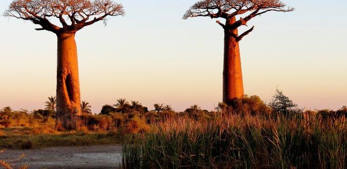 De eerste baobabs