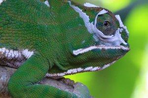 Parsons Kameleon
