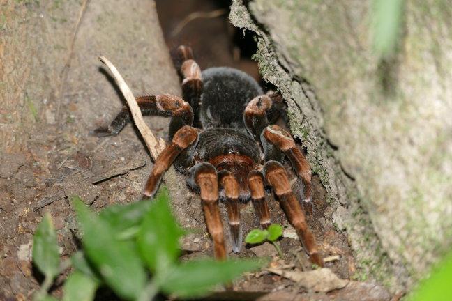 Tarantula bij Rincon de la Vieja