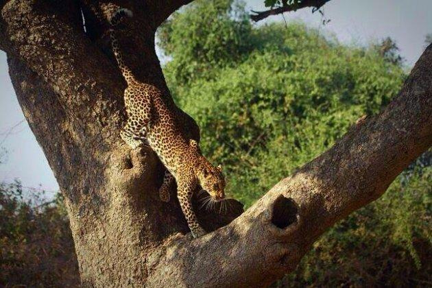Luipaard uit de boom