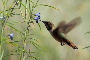 Rufous kolibrie