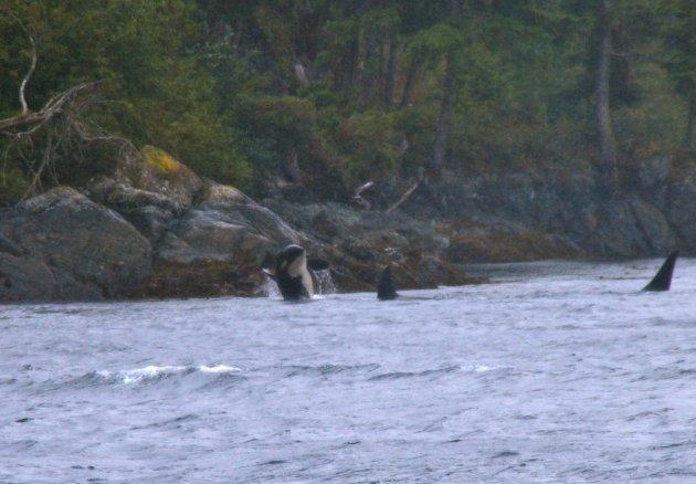 Orca's!