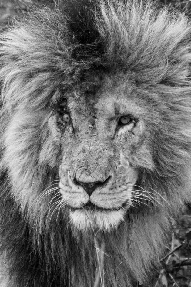gehavende koning