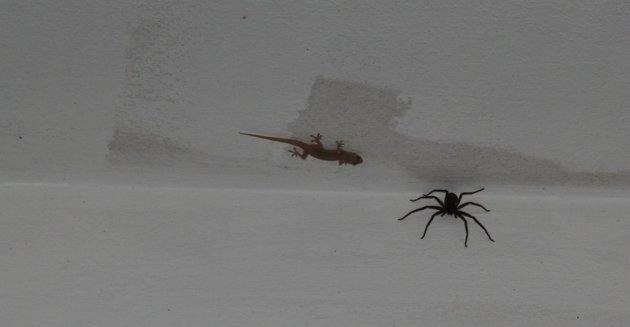 Gekko ziet spin als hapje