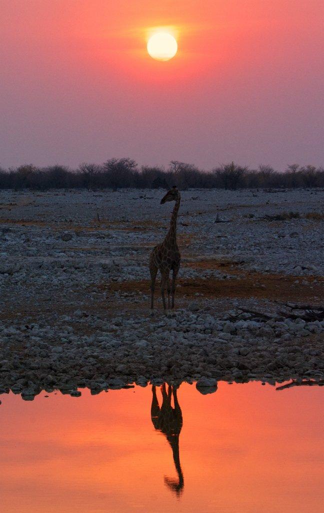 Zonsondergang met een Giraffe bij een waterhole in Etosha.