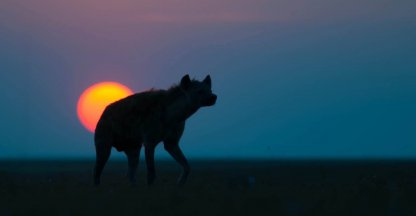 Sun set hyena