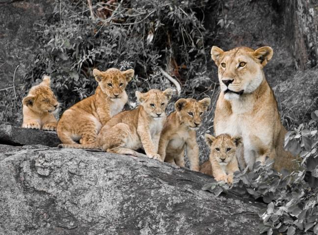 Leeuwenwelpen en oppas
