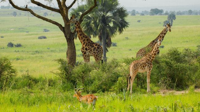 Groepje Rothschild Giraffes