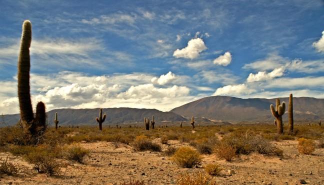 Een gebied vol met cactussen