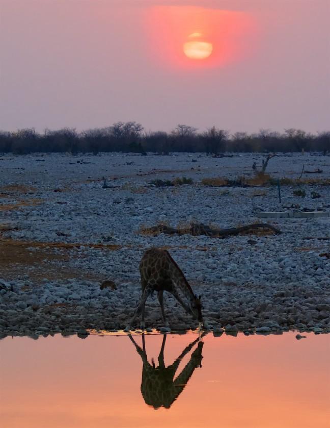 Zonsondergang met een drinkende Giraffe
