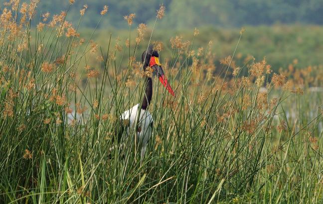 Verstopte Zadelbekooievaar in Murchison Falls