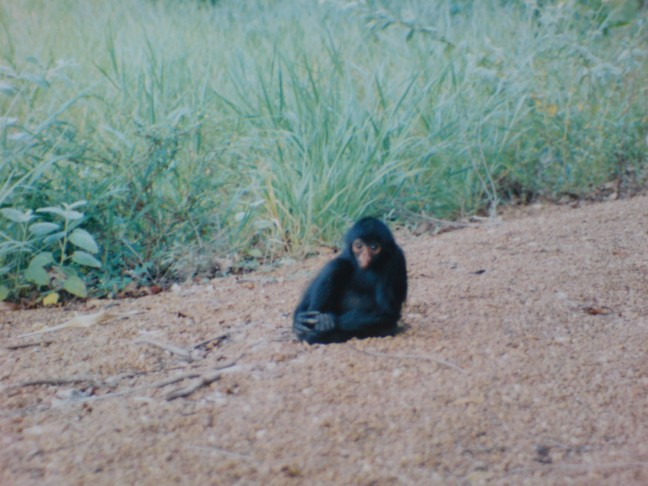 2001-2002 Zwarte Spinaap op Tonka-eiland.
