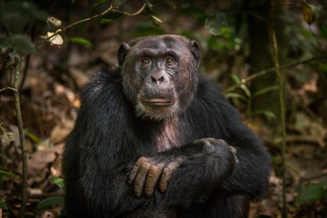 In het spoor van de chimps